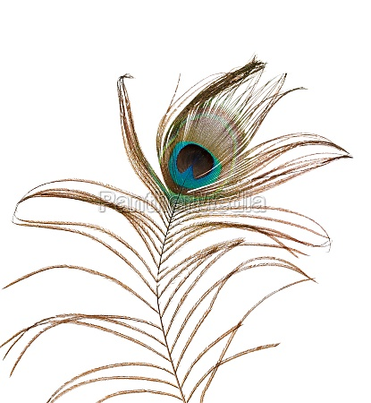 delicate peacock feather