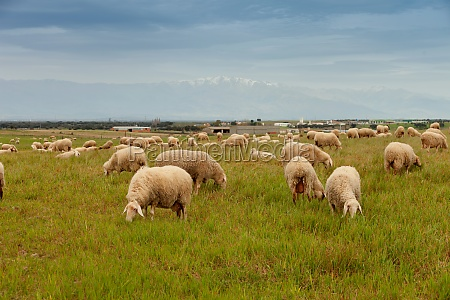 flock of sheep grazing in a