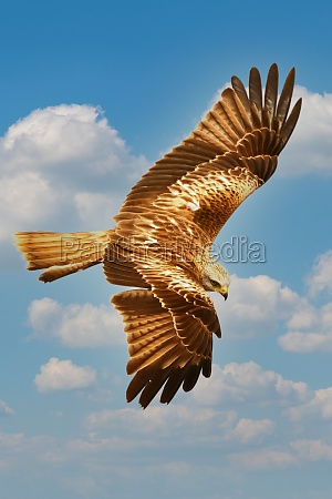brown eagle flying in the blue