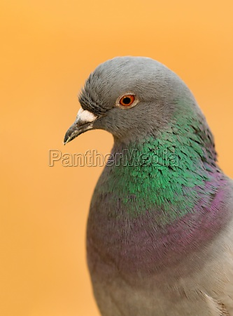 portrait of a wild dove with