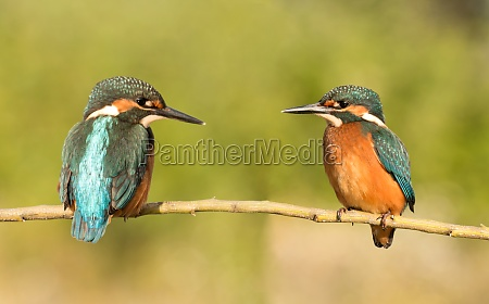 couple of kingfishers in the nature