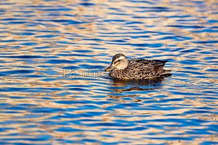 beautiful duck swimming