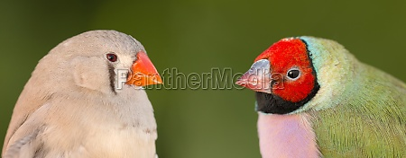 beautiful, bird, with, red, face, looking - 29782845