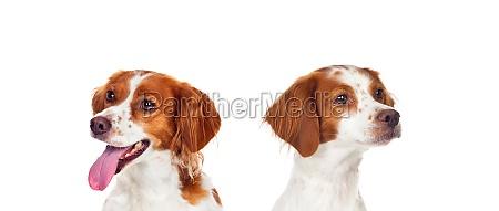 beautiful spaniel breton dogs