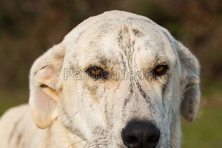 big white labrador dog in the