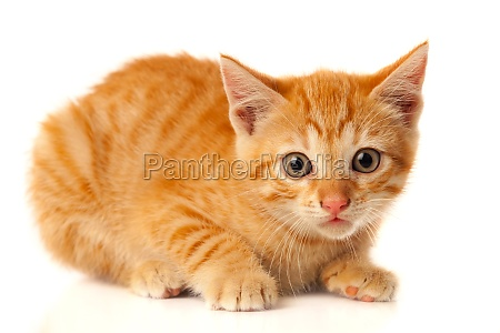 beautiful small red cat looking at