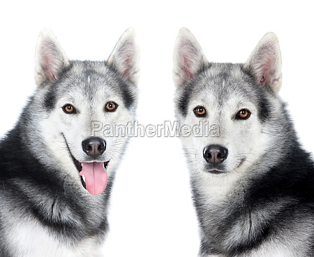 tlwo equal husky siberian dogs