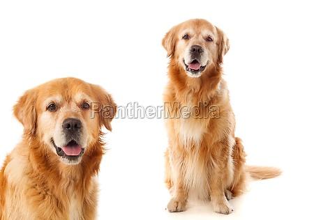 two beautiful labrador dogs