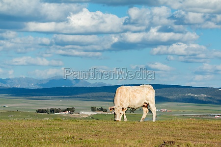 cows grazing under a beautiful sky