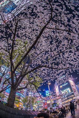 shibuya station of sakura
