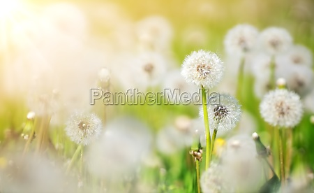 meadow with lots dandelions in sunny