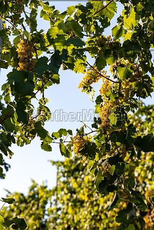 prosecco white grapes on a vineyard