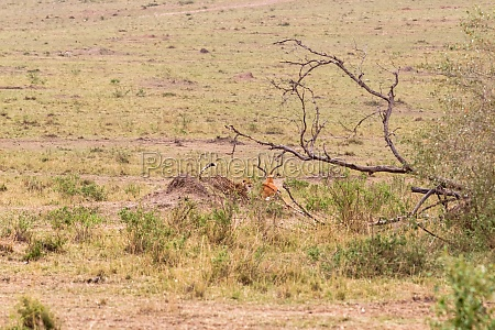photo series cheetah hunting for big