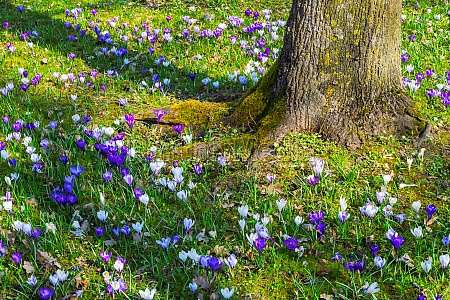 crocus flowers around a tree trunk