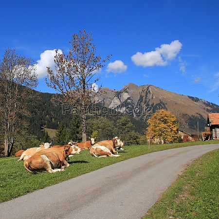 resting simmental cows in the swiss