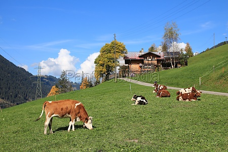 cows on a green meadow in