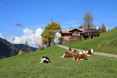 relaxed cows on a autumn day