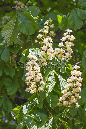 flowering chestnut tree