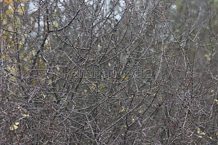 thorn bush background