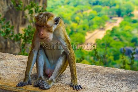 monkey sri lanka sigiriya rock
