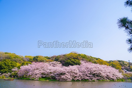 full bloom of cherry blossoms and