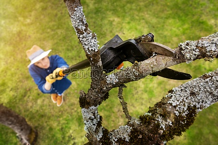 woman cut old apple tree branch