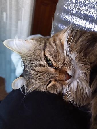 cat sleeping cat face of a