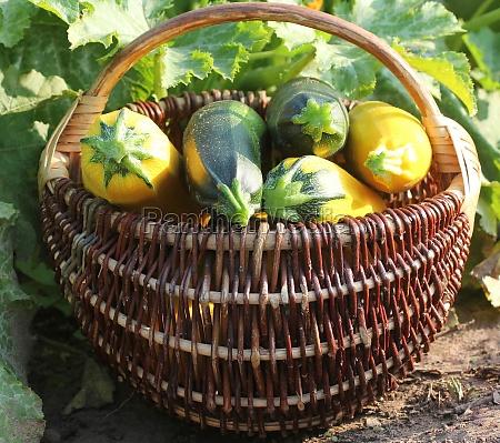 harvesting zucchini fresh squash lying in