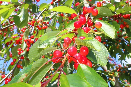 wild cherry in the nature