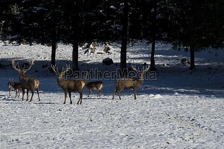 deer in the winter