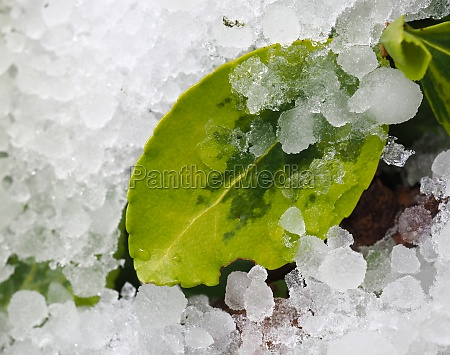 green leaf in the ice