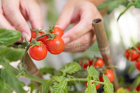 woman picking ripe cherry tomatoes on