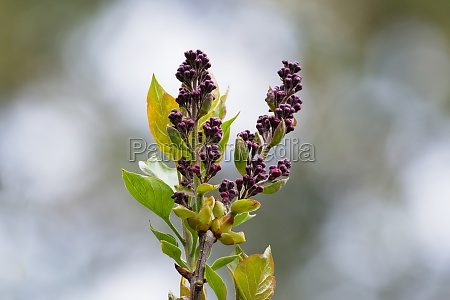 syringa vulgaris l buds of a