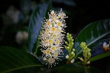 prunus laurocerasus l inflorescences of cherry
