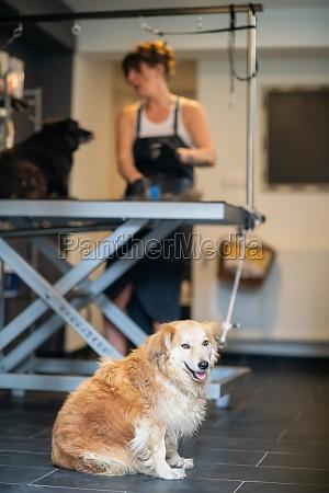 pet hairdresser woman cutting fur of