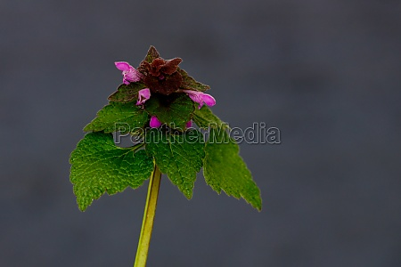 a blooming death nettles flower