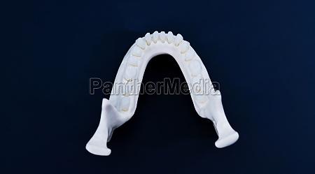 lower human jaw with teeth anatomy