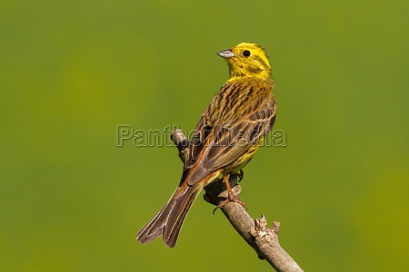 yellowhammer sitting on branch in summer