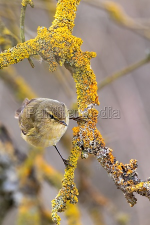 small song bird willow warbler europe