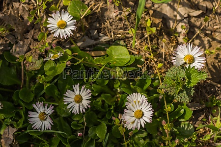 fresh daisy blossom on the forest