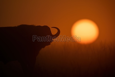 cape buffalo stands silhouetted during misty