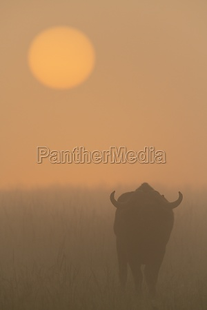 cape buffalo walks towards misty rising