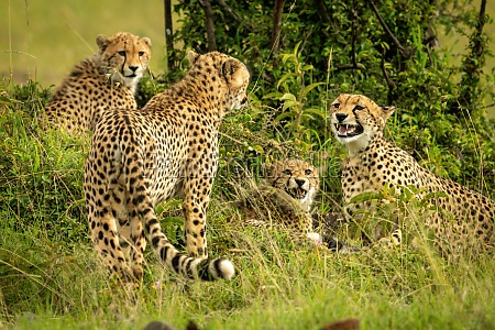 cheetah coalition sits and stands beside