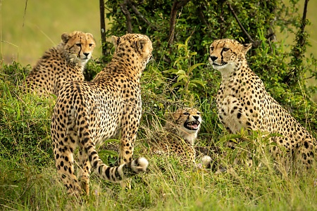 cheetah coalition sits and stands near