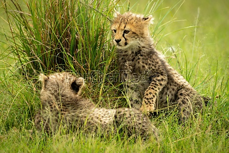 cheetah cub lifts paw towards another