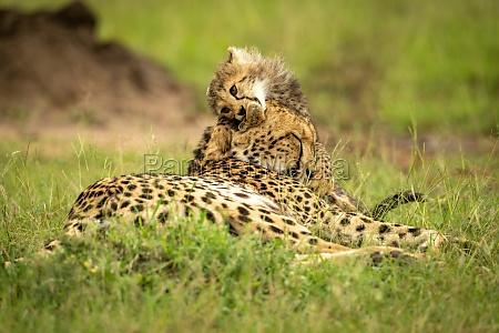 cheetah cub lying on head of