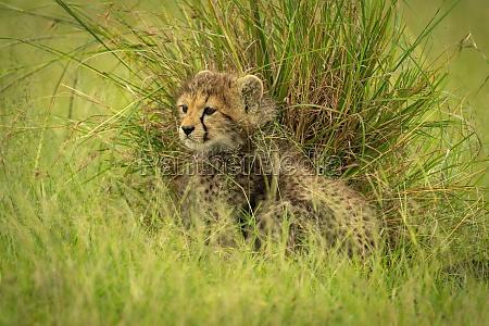 cheetah cub sits by grass clump