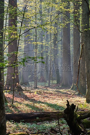 deciduous forest in springtime sunrise