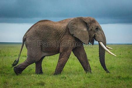 african bush elephant walks over grassy