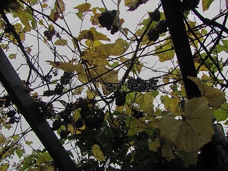 violet grape harvest against the gray